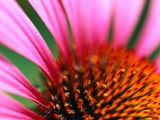 Petals and Stamens of Purple Coneflower