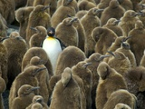 Adult King Penguin with Group of Juveniles
