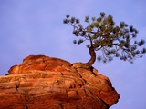 Ponderosa Pine and Hoodoo Rock