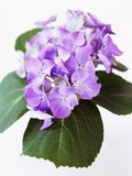 Cluster of Purple Hydrangea Flowers