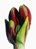 Red and Green Gladiolus Buds
