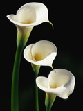 Three White Calla Lilies