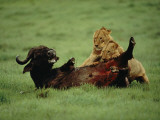 A Wounded Cape Buffalo Falls Prey to a Pair of Young Lions