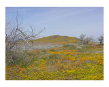 California Poppy Park