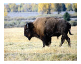 The Great Plains Buffalo