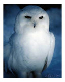The Great White Owl