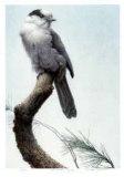Pine Woods - Gray Jay