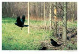 Crows by the Woods