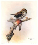 Pygmy Owl