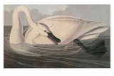 Trumpeter Swan