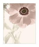 Anemone Radiance