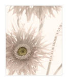 Gerbera Breeze II