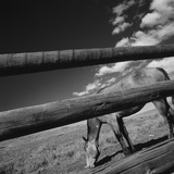 Black and white tilted view of horse grazing in meadow with wooden fence in foreground