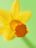 Yellow daffodil