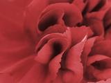 carnation detail