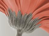 close up image of a gerbera daisy