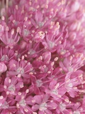 Flowering Allium Plant