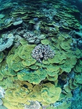 Elephant Ear Coral