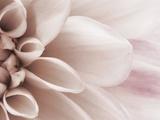 Blooming Dahlia Flower