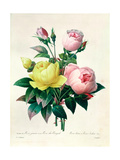 Rosa Lutea and Rosa Indica  from &quot;Les Choix Des Plus Belles Fleurs &quot; 1827