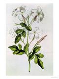 """Jasmine  from """"La Guirlande De Julie """" circa 1642"""