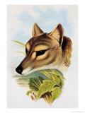 Tasmanian Wolf or Tiger (Thylacinus Cynocephalus)