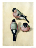Three Studies of a Bullfinch