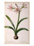 Amaryllis Vittata  from Les Liliacees Amaryllisees