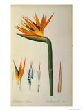 Strelitzia Reginae  from &quot;Les Strelitziacees&quot;