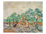 The Olive Grove  1889 (Oil on Canvas)