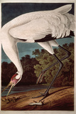 Whooping Crane  from &quot;Birds of America&quot;