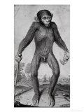 Chimpanzee  1699