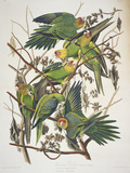 Carolina Parakeet  from &quot;Birds of America &quot; 1829