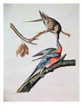 Passenger Pigeon  from 'Birds of America'