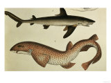 Lesser Spotted Dogfish  Pl93 from &quot;Naturgeschichte Und Abbildung Der Fische &quot; 1836  by HR Schinz
