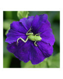 Pacific Northwest Green Tree Frog on Purple Flower