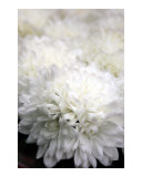 Clouds of Mums
