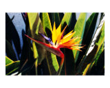 Hawaiian Bird of Paradise