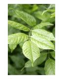Green Leaves in the Rain 3