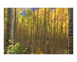 Fall Aspens 1400