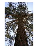 Sequoia Tree - Big Bear  California