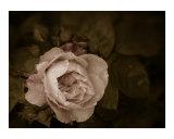 Rose Drop 3