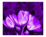 Popart Rhapsody in Lilac