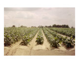 Young Tobacco Field