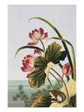 18th Century French Print of Red Water Lily of China