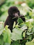Baby Mountain Gorilla Feeding