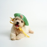 Bichon Frise Puppy Wearing Bonnet