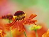 Blooming Sneeze Weed