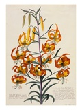 Botanical Print of American Turkscap Lily