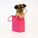 Chihuahua Puppy in Pink Purse